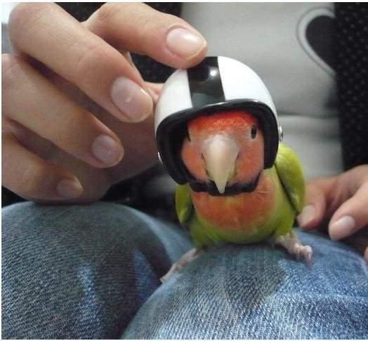 小鳥安全帽.jpg